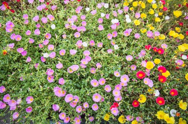Цветок portulaca с розовым красным фиолетовым и желтым цветущим в саду, когда утреннее солнце