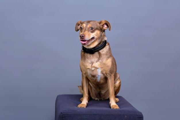 Позирует для студийного фото маленькая коричневая собака, сидящая на подиуме