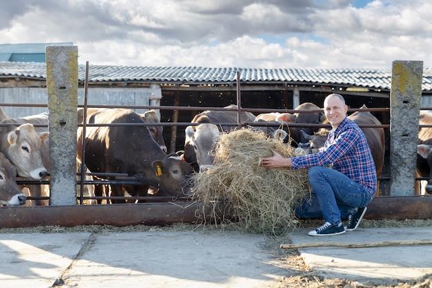 Положительный фермер кормит коров сеном на открытом воздухе
