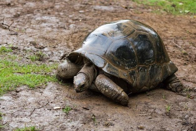 Возможно, это вымерший вид сейшельской гигантской черепахи dipsochelys hololissa.