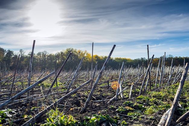 Post-harvest sunflower residues before earning in the soil and processing by biodestructor