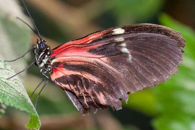Почтальон бабочка (геликоний мелпомен) покоится на листе