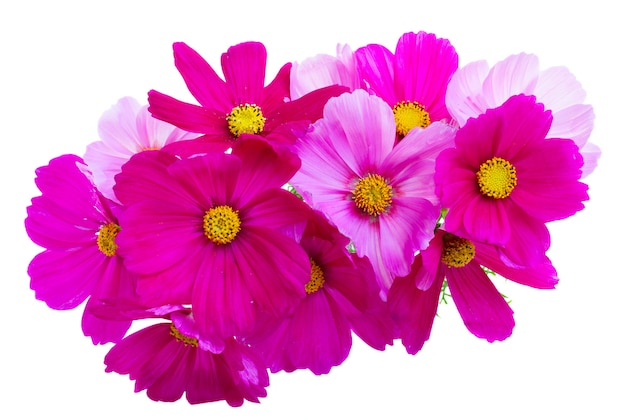 Posy of cosmos pink flowers isolated on white