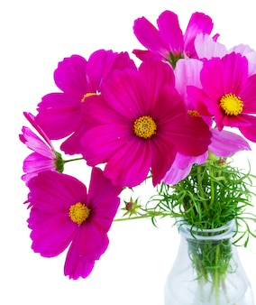 Posy of cosmos pink flowers in vase close up isolated on white