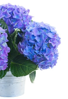 金属製のポットの青いオルテンシアの花の花束は、白いスペースに隔離されてクローズアップ