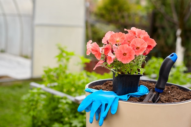 A pot of beautiful bright flowers, gloves and a shovel stand in a large ceramic vase in the garden