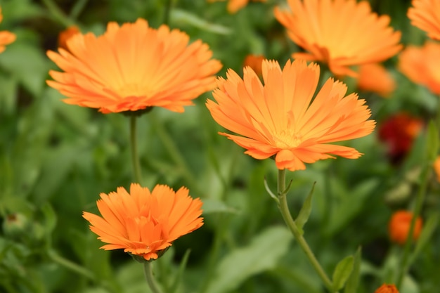 Pot marigold, calendula officinalis close up.