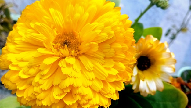 A pot marigold: a species of daisy, also known as common marigold, hen-and-chickens, garden marigold, ruddles, it's botanical name is calendula officinalis.