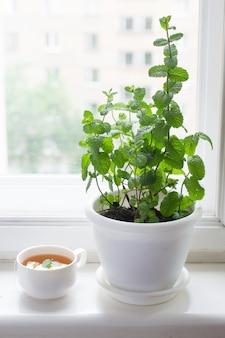 Pot of mint and mint tea on windowsill