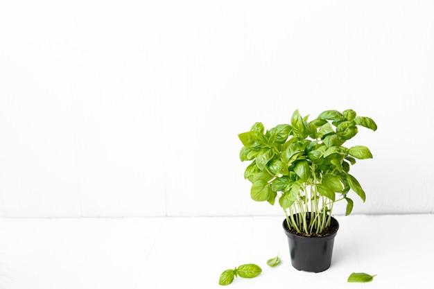 복사 공간 오른쪽 모서리에 흰색 배경에 신선한 바 질 식물의 냄비.