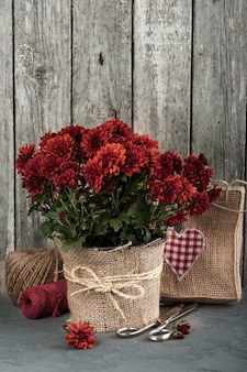 Pot of red chrysanthemum flowers