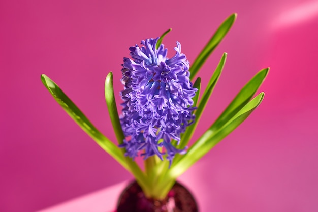 Pot of violet garden hyacinth flowering plant with trendy shadows and lights