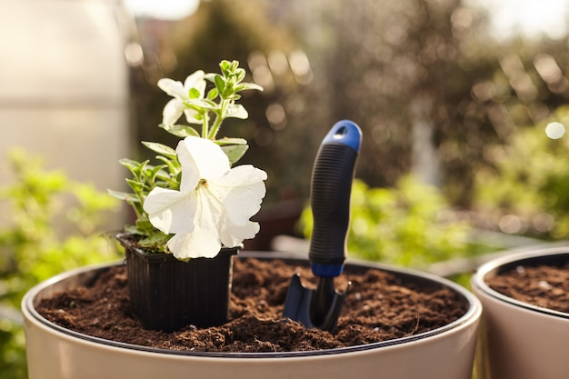 A pot of white petunia and a small shovel stand on the ground in a vase