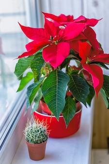 クリスマスのポインセチアの花と多肉植物が窓辺にあるポット、ぼやけた背景、クローズアップ。