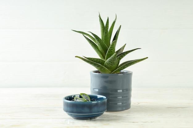 알로에 식물이 있는 냄비와 흰색 나무 테이블에 젤이 있는 그릇