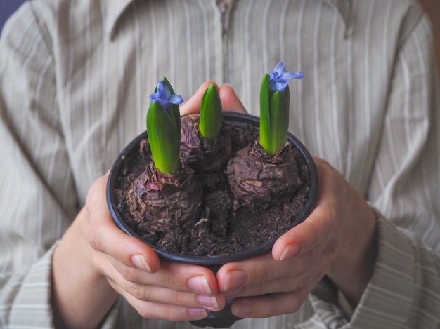 Pot with blooming hyacinths in women's hands. spring flowers.