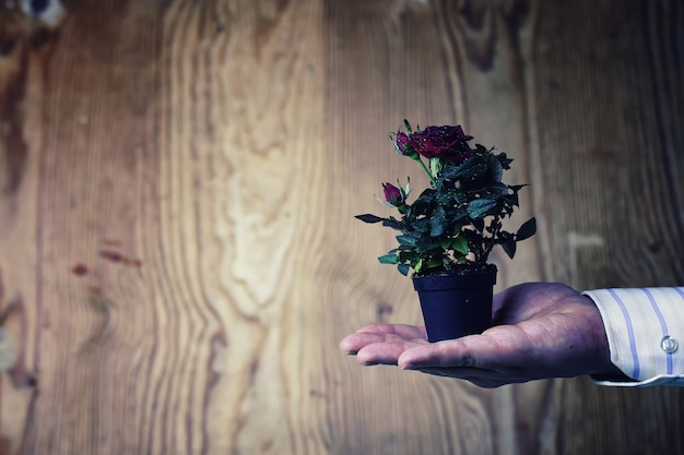 Pot with rose in a hand man suit background