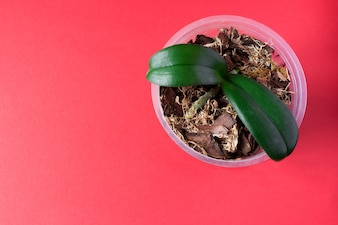 Pot with young orchid plant on pink background. Home plant.