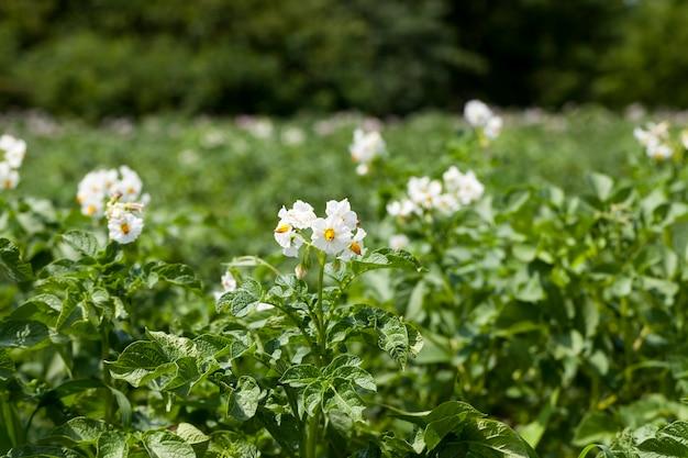 Цветение картофеля во время роста, сельскохозяйственное поле с растением картофеля летом