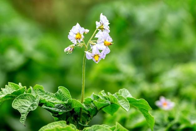 じゃがいもの花。白い花のジャガイモの茂み_