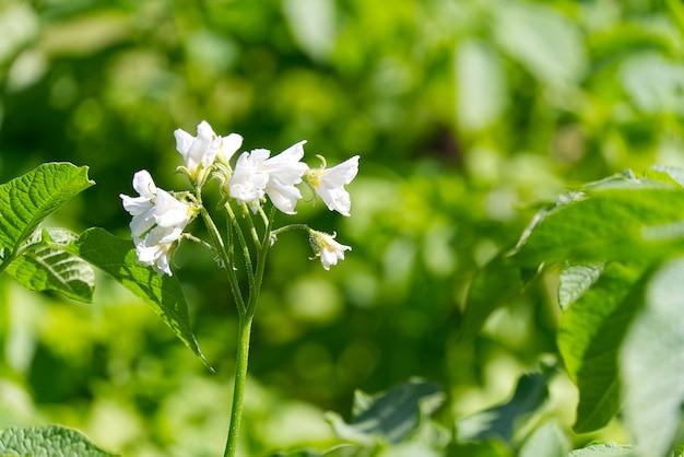 ジャガイモ植物の白い花が咲くジャガイモブッシュ。庭で有機ジャガイモを栽培しています。