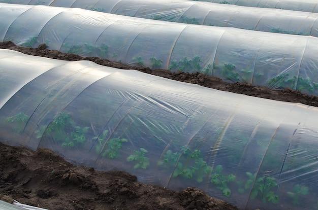 Potato bushes on a farm plantation hidden under an agricultural plastic film tunnel rows