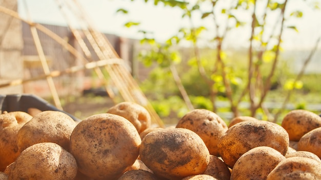Potato crop. against the backdrop of a garden.