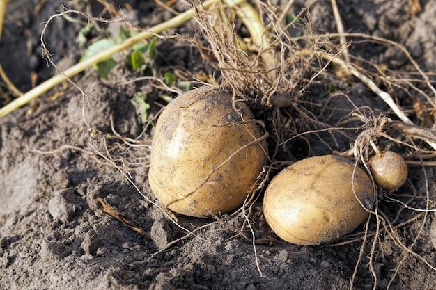 감자 작물