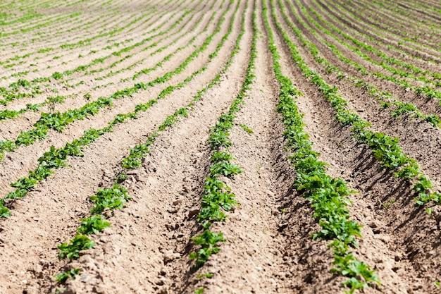 じゃがいも畑。クローズアップは、緑のジャガイモが育つ農地です。畝間。春。閉じる