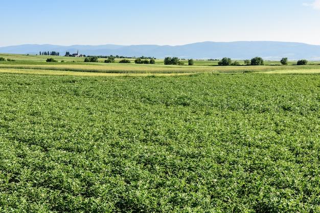 Potato field at summer in romania, transylvania.
