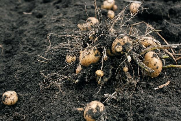 ジャガイモの収穫。フィールド上のジャガイモ