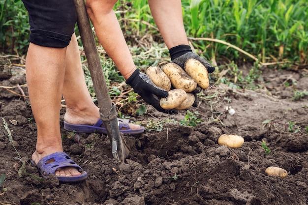 ジャガイモの収穫。庭にシャベルを持った女性がじゃがいもを掘ります。