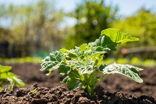 日の出の農場のジャガイモ植物のベッド。土の上で育つ若いジャガイモ植物。庭のジャガイモの茂み。有機性庭の健康な若いジャガイモ植物。