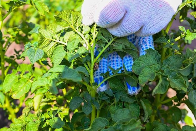 콜로라도 감자 딱정벌레와 감자 식물 잎입니다. 벌레와 해충으로부터 농작물을 보호하는 테마. 해충 방제. 농부의 손.