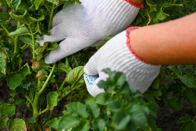 노란색 계란과 콜로라도 감자 딱정벌레의 애벌레와 감자 식물 잎. 벌레와 해충으로부터 농작물을 보호하는 테마. 해충 방제.