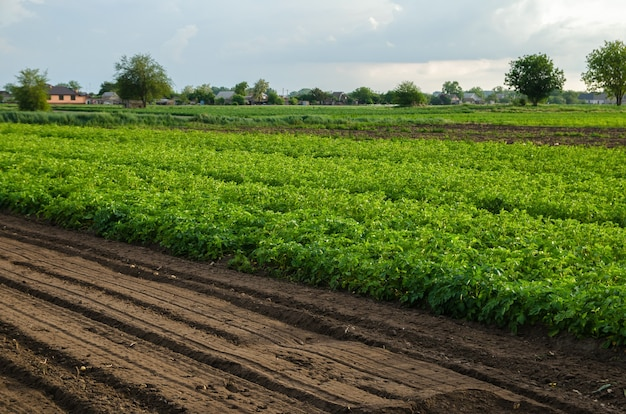 Potato plantation and a field with loosened soil loose crushed moist soil after cultivating