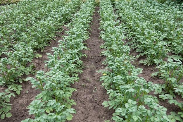 ジャガイモのプランテーションは畑で育ちます。野菜の列。農業、農業。農地のある風景。作物