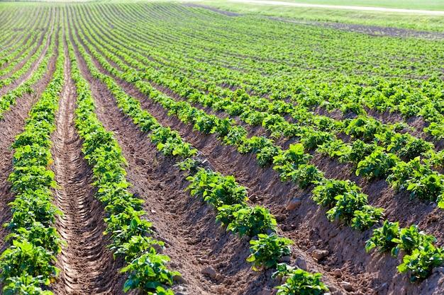 Картофельные растения