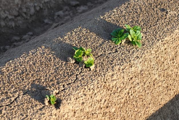 Potato seedling on groove