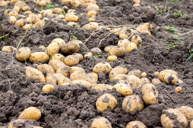 ジャガイモ塊茎は地面のフィールドで乾燥します。 Premium写真