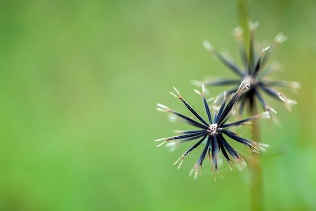 ポテト雑草の種子