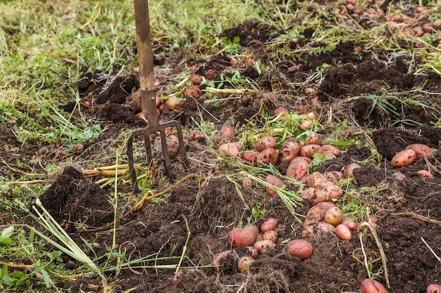 가을에 감자를 수확하는 채소밭의 감자와 갈퀴