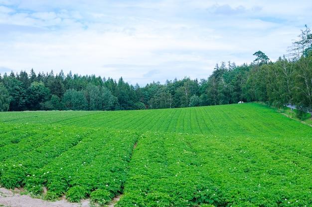 감자는 들판에 줄지어 심어져 있습니다. 감자의 녹색 잎입니다. 넓은 들판에서 감자를 재배하고 있습니다. 꽃이 만발한 감자 식물. 농지. 소프트 포커스