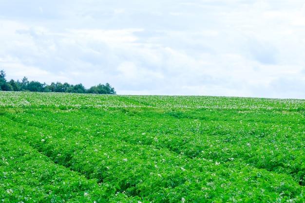 じゃがいもは畑に一列に植えられています。ジャガイモの緑の葉。広い畑でジャガイモを育てる。