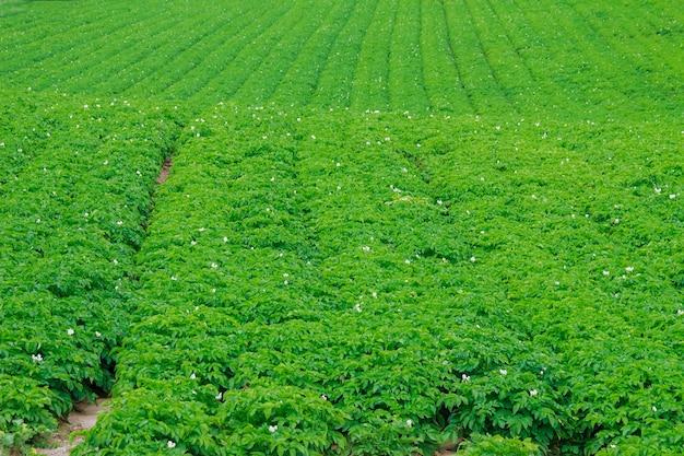감자는 들판에 줄지어 심어져 있습니다. 감자 소프트 포커스의 녹색 단풍