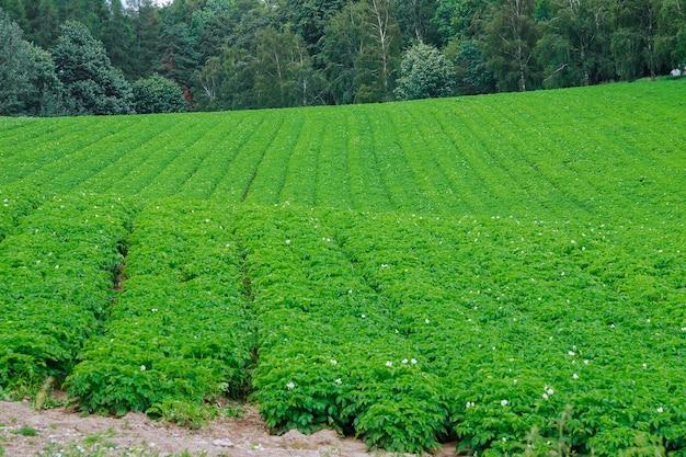 じゃがいもは畑に一列に植えられています。