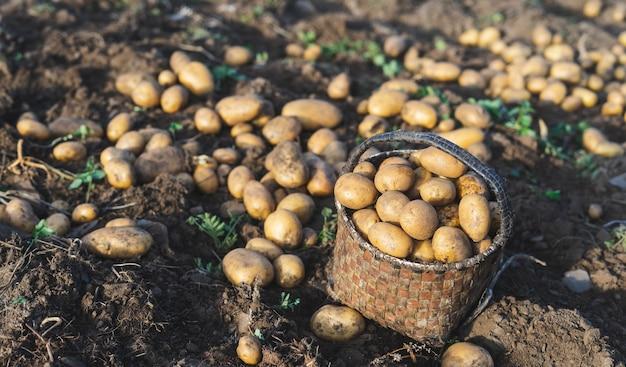 Картофель свежий из земли. корзина с картошкой. сельское хозяйство.