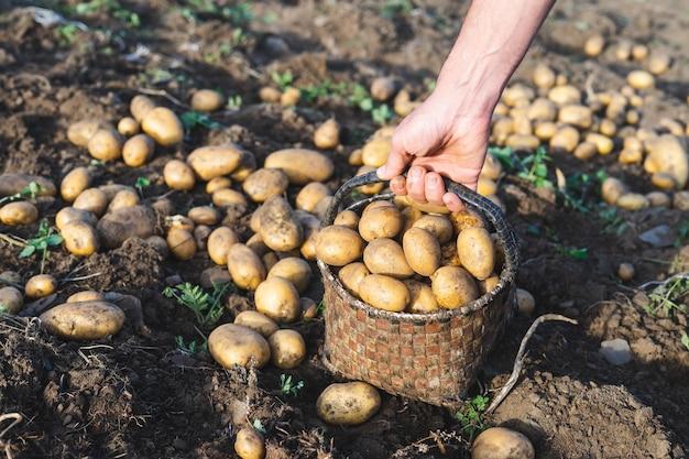 Картофель свежий из земли. мужчина собирает картошку. сельское хозяйство.