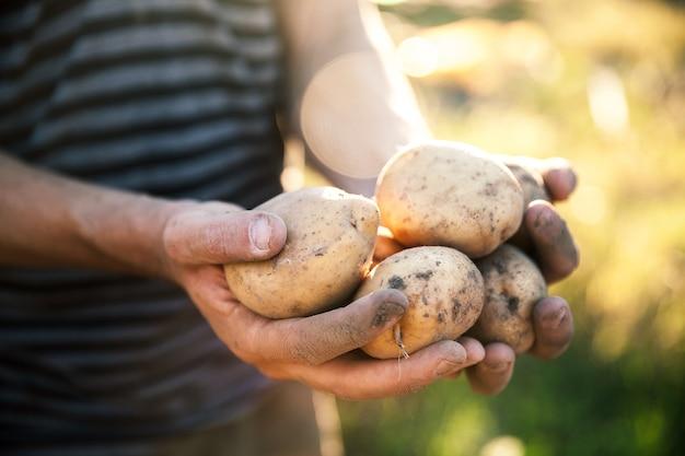 Картофель, выращенный в саду. фермер держит овощи в руках. еда
