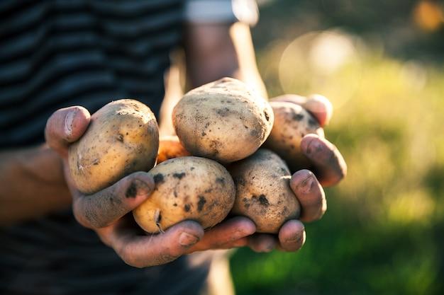 Картофель, выращенный в его саду. фермер держит овощи в руках. еда
